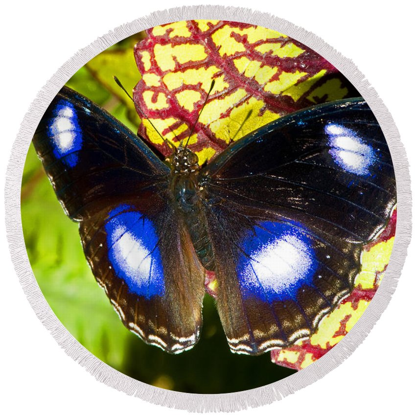 Nature Round Beach Towel featuring the photograph Great Eggfly Butterfly by Millard H. Sharp