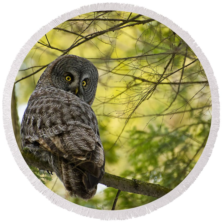 Great Gray Owl Round Beach Towel featuring the photograph Great Gray Owl Pictures 779 by World Wildlife Photography