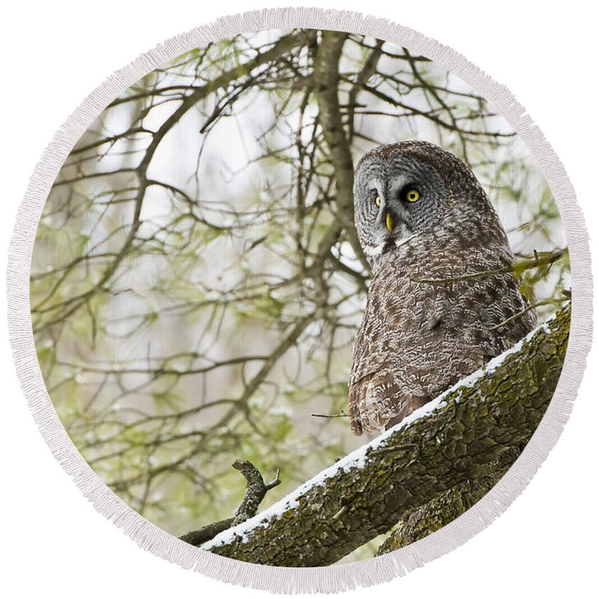 Great Gray Owl Round Beach Towel featuring the photograph Great Gray Owl Pictures 804 by World Wildlife Photography