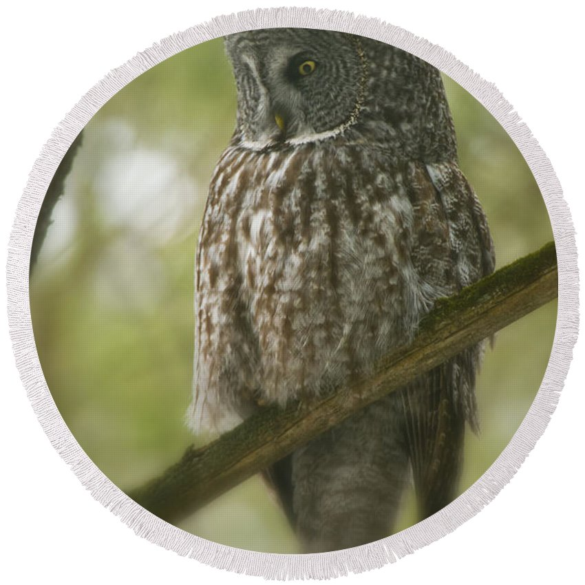 Great Gray Owl Round Beach Towel featuring the photograph Great Gray Owl Pictures 823 by World Wildlife Photography
