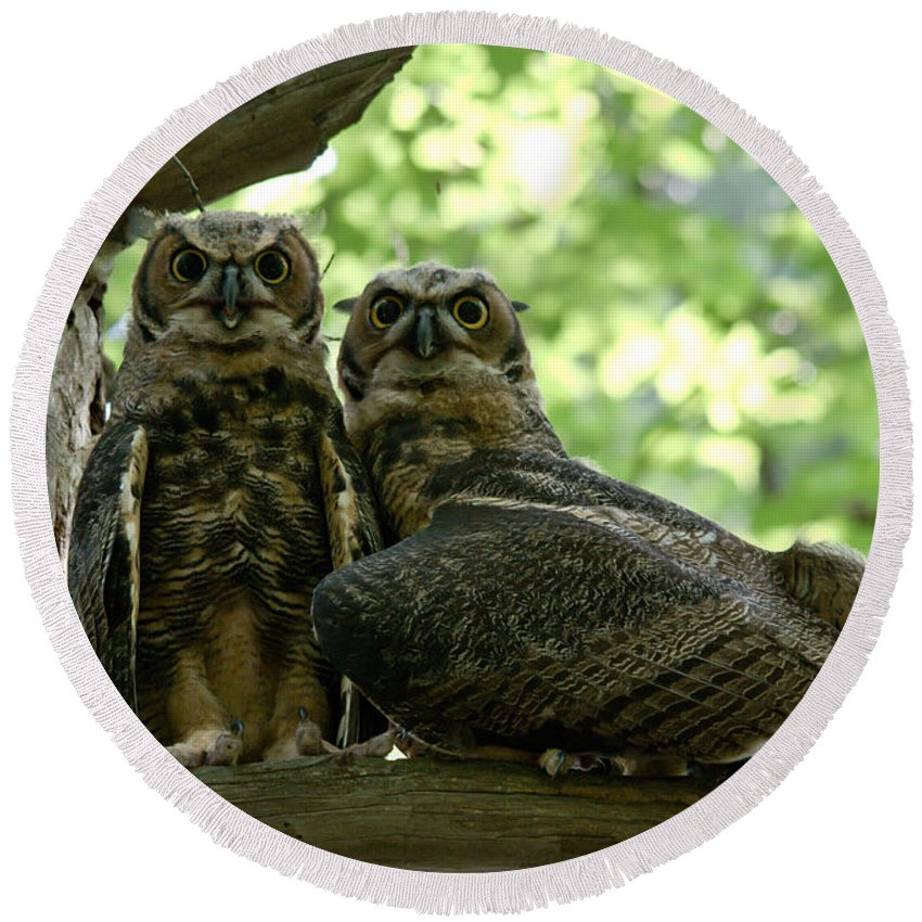 Young Owls Round Beach Towel featuring the photograph Great Horned Owls by Cheryl Baxter