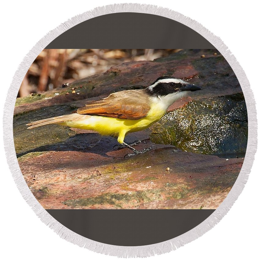 Great Kiskadee Round Beach Towel featuring the photograph Great Kiskadee by Stuart Litoff