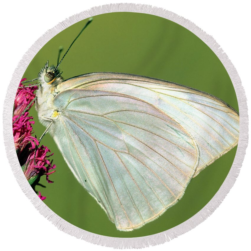 Fauna Round Beach Towel featuring the photograph Great Southern White Butterfly by Millard H. Sharp