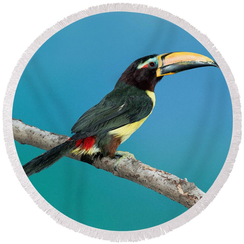 Fauna Round Beach Towel featuring the photograph Green Aracari On Branch by Anthony Mercieca