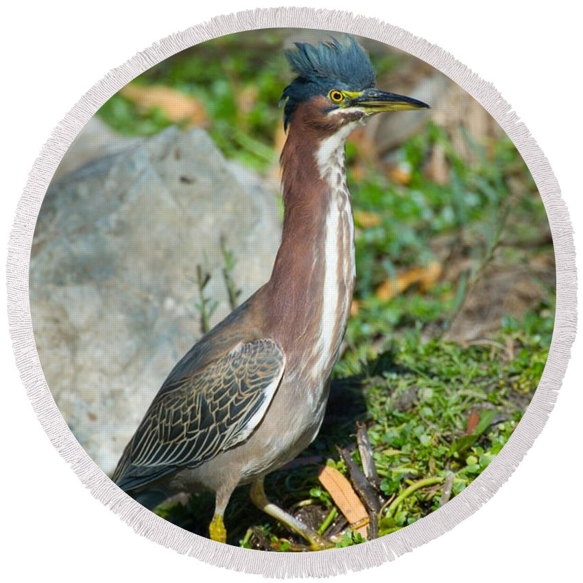Fauna Round Beach Towel featuring the photograph Green-backed Heron Butorides Virescens by Anthony Mercieca