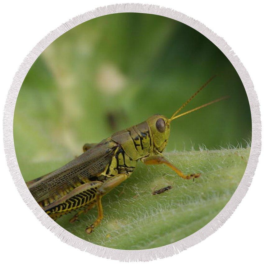 Macro Round Beach Towel featuring the photograph Green Closeup Grasshopper by Rob Luzier
