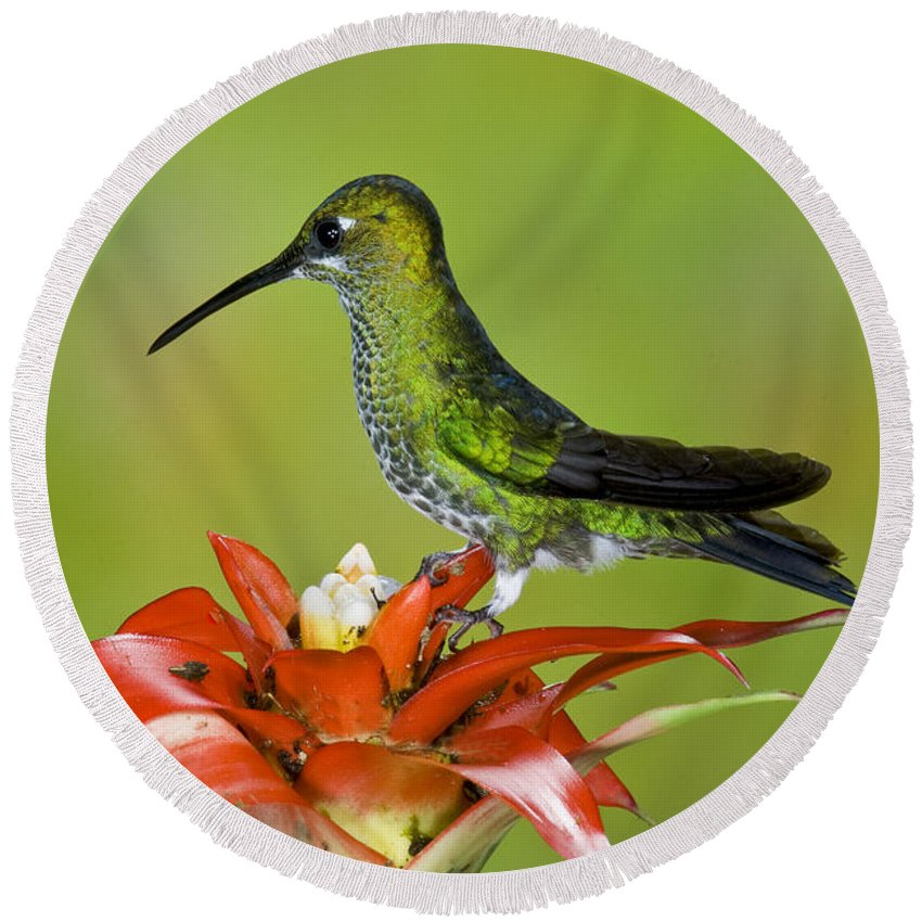 Green-crowned Brilliant Round Beach Towel featuring the photograph Green-crown Brilliant Female by Anthony Mercieca