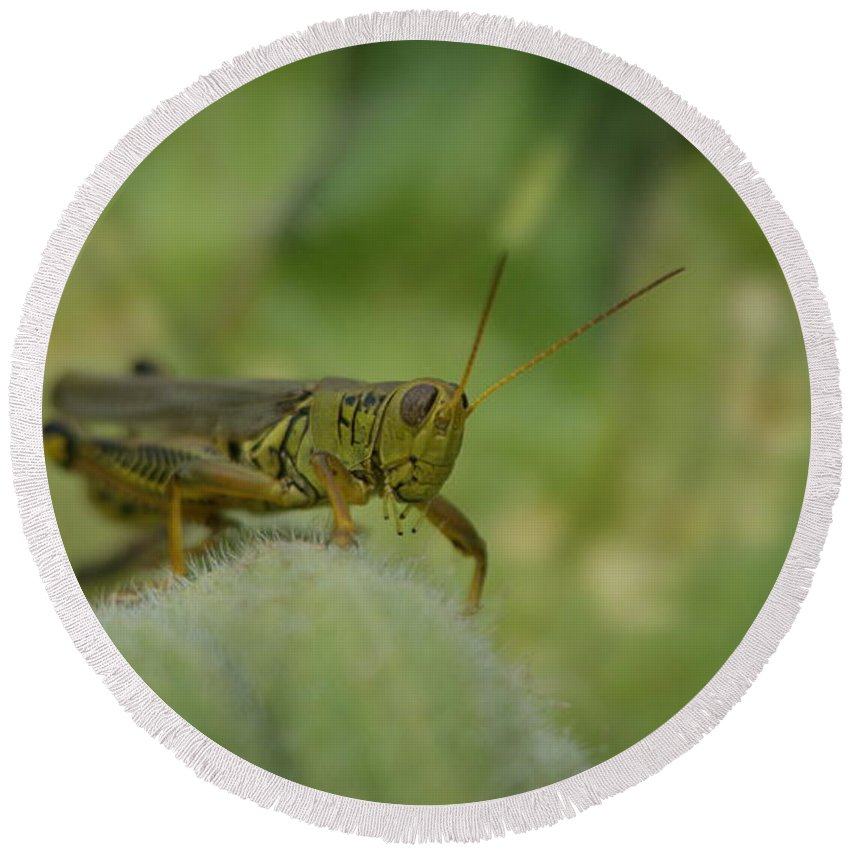Green Round Beach Towel featuring the photograph Green Grasshopper You Looking At Me by Rob Luzier