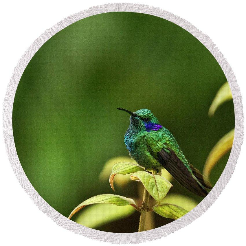 Bird Round Beach Towel featuring the photograph Green Violetear Hummingbird by Heiko Koehrer-Wagner