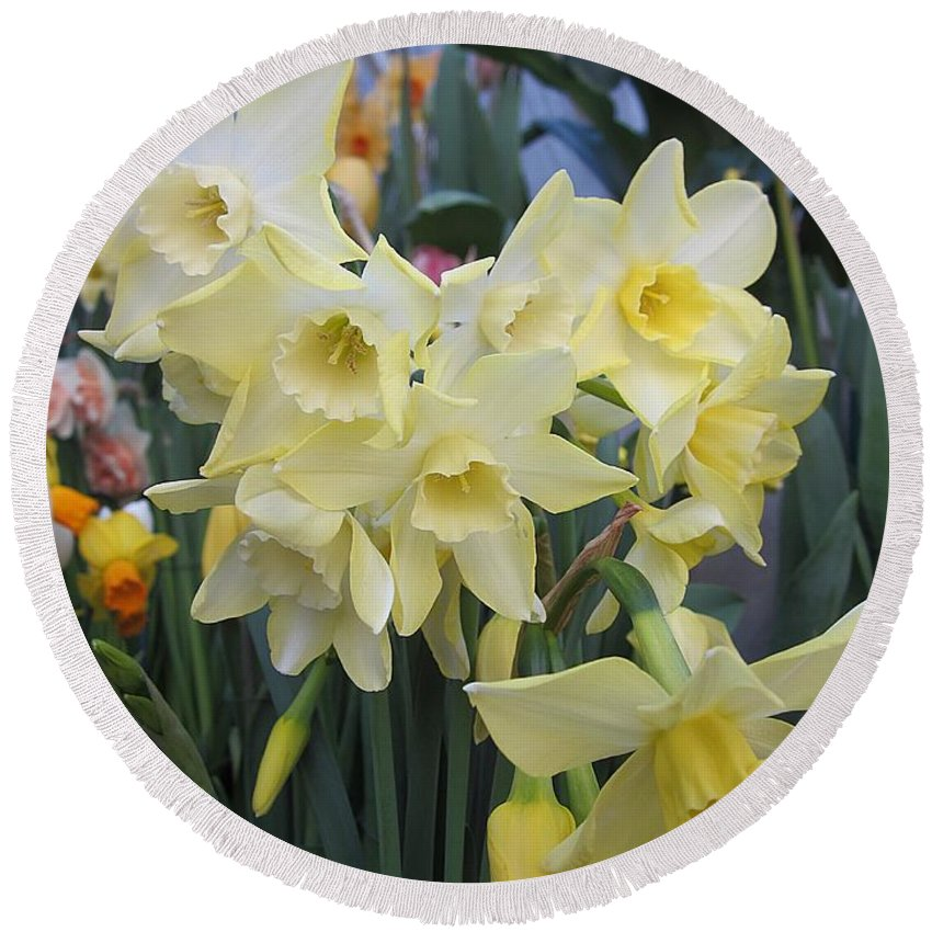 Daffodils Round Beach Towel featuring the photograph Greenhouse Daffodils by MTBobbins Photography
