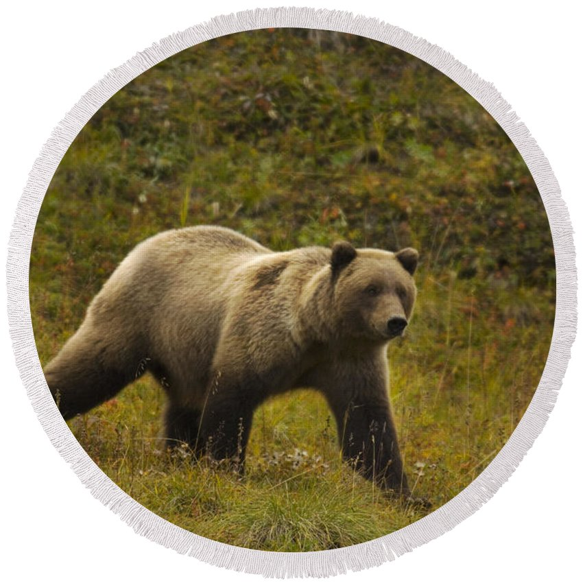 Grizzly Round Beach Towel featuring the photograph Grizzly Bear by Ron Sanford