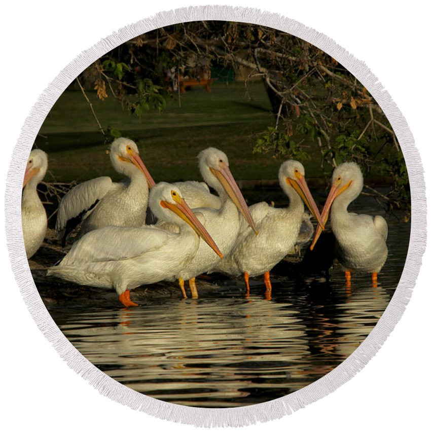 White Pelicans Round Beach Towel featuring the photograph Group Of White Pelicans by Diana Haronis
