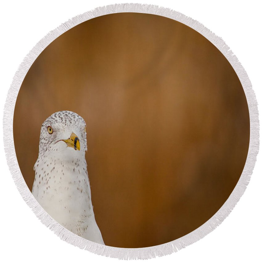 Gull Stare Round Beach Towel featuring the photograph Gull Stare by Karol Livote