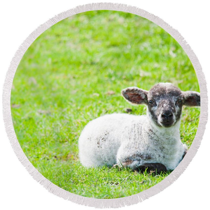 Sheep Round Beach Towel featuring the photograph Have You Any Wool by Cheryl Baxter