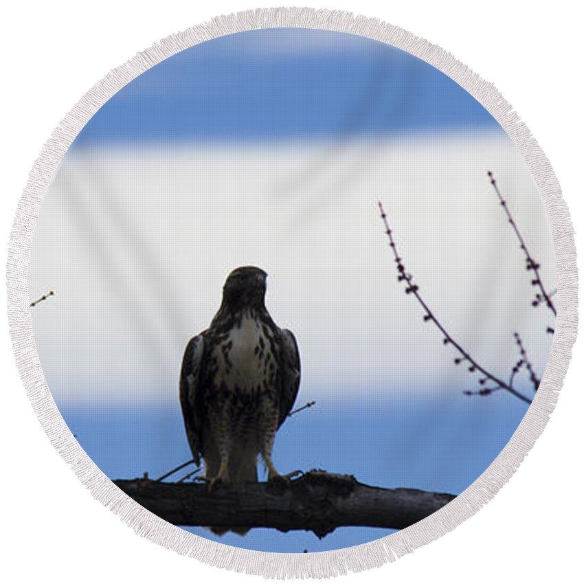 Hawk Round Beach Towel featuring the photograph Hawk On Branch by Brian Jordan