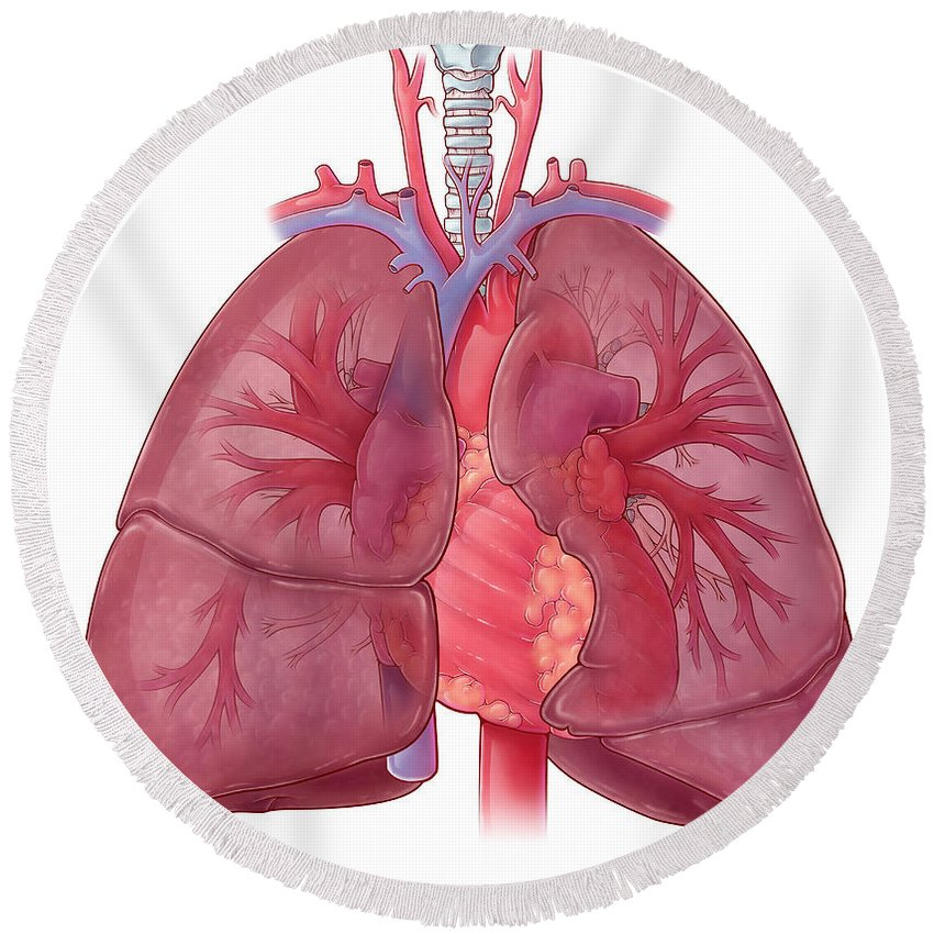 Science Round Beach Towel featuring the photograph Heart Illustration, With Pulmonary Veins by Evan Oto