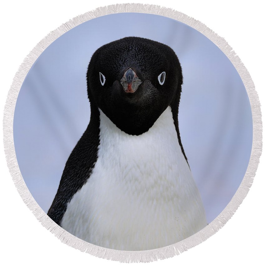 Adelie Penguin Round Beach Towel featuring the photograph Here's Looking At You Kid by Tony Beck