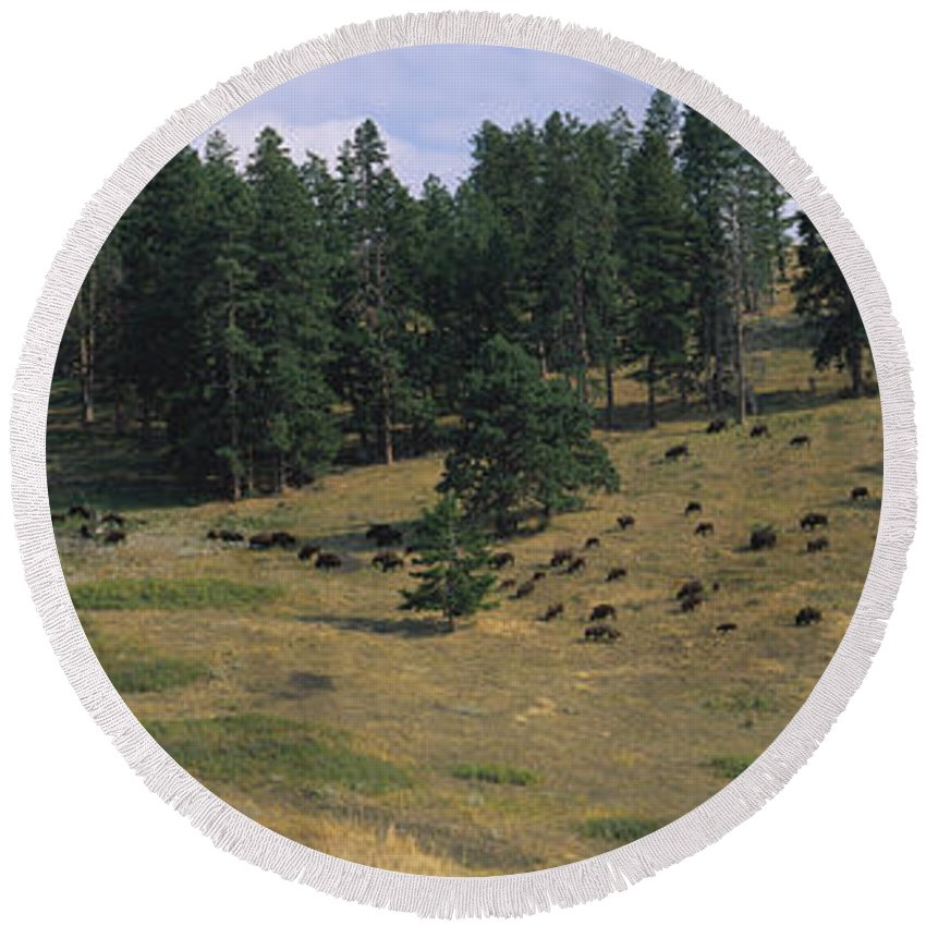 Photography Round Beach Towel featuring the photograph High Angle View Of Bisons Grazing by Panoramic Images