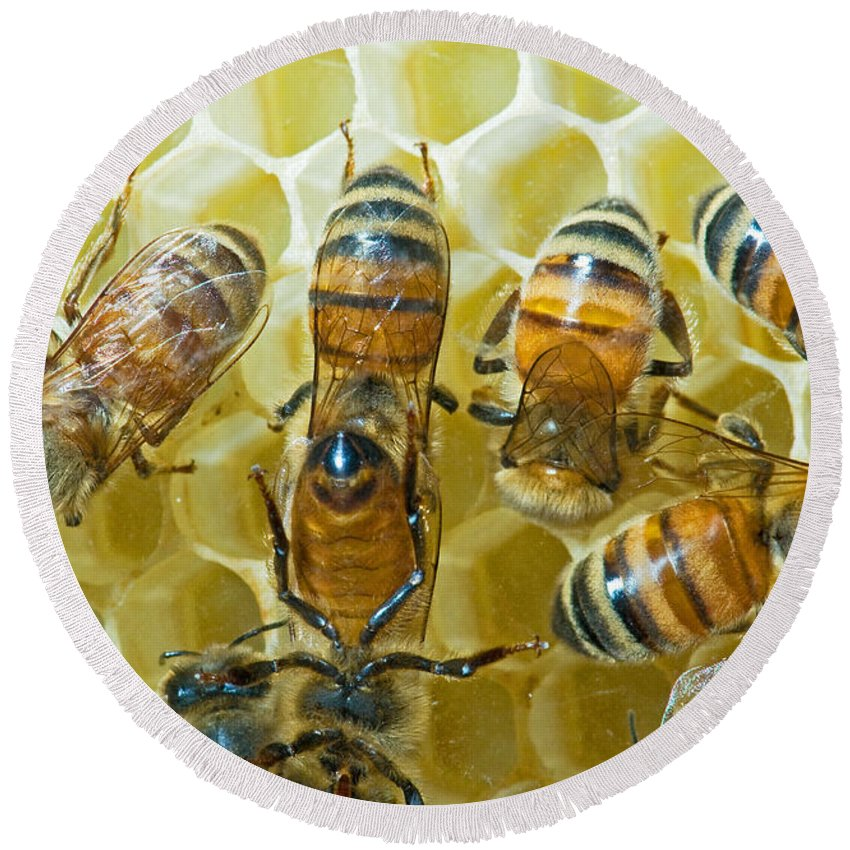 Insect Round Beach Towel featuring the photograph Honey Bees In Hive by Millard H. Sharp