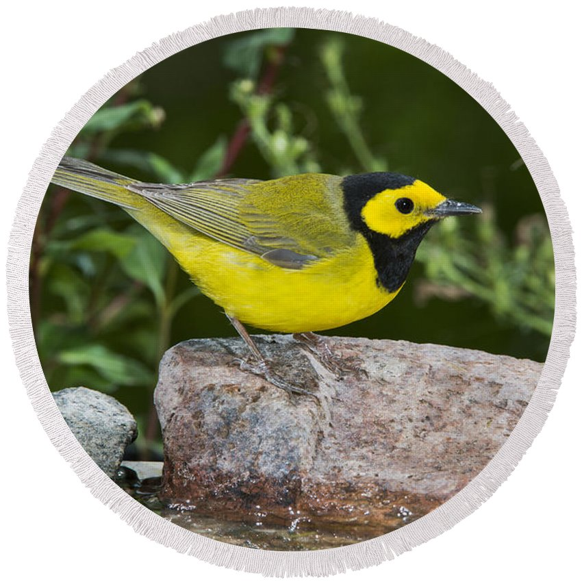 Hooded Warbler Round Beach Towel featuring the photograph Hooded Warbler by Anthony Mercieca