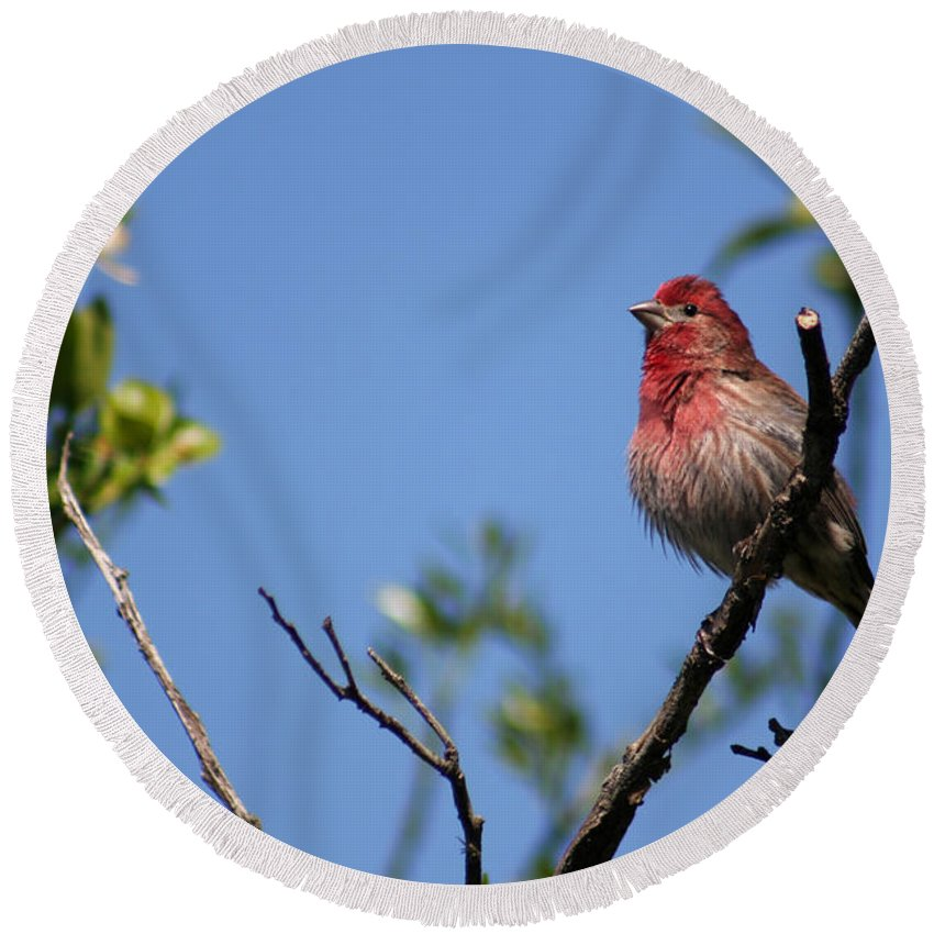 Bird Round Beach Towel featuring the photograph House Finch by Allan Lovell