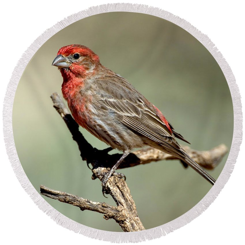 Fauna Round Beach Towel featuring the photograph House Finch Carpodacus Mexicanus by Anthony Mercieca