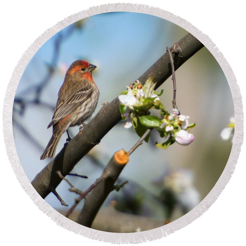 House Finch Round Beach Towel featuring the photograph House Finch by Mike Dawson