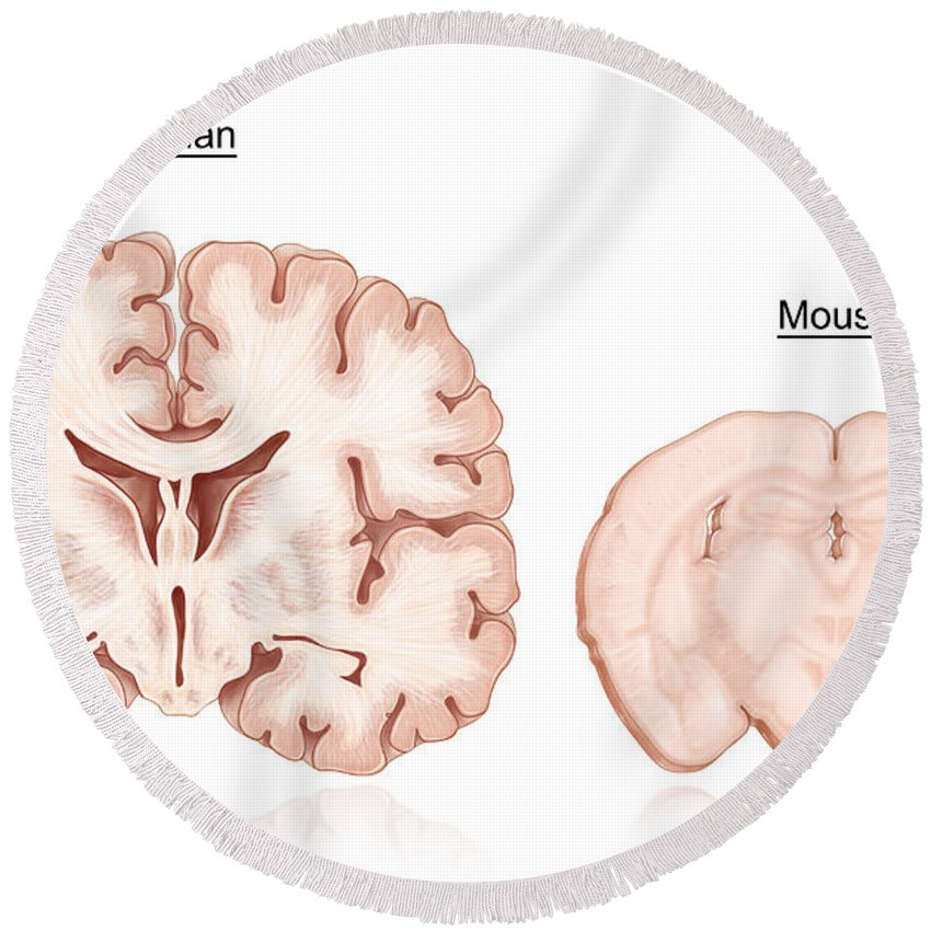 Human And Mouse Brain Comparison Round Beach Towel for Sale by Evan Oto
