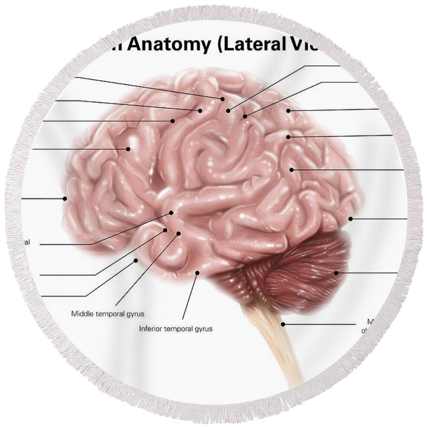 Human Brain Anatomy Lateral View Round Beach Towel For Sale By Alan