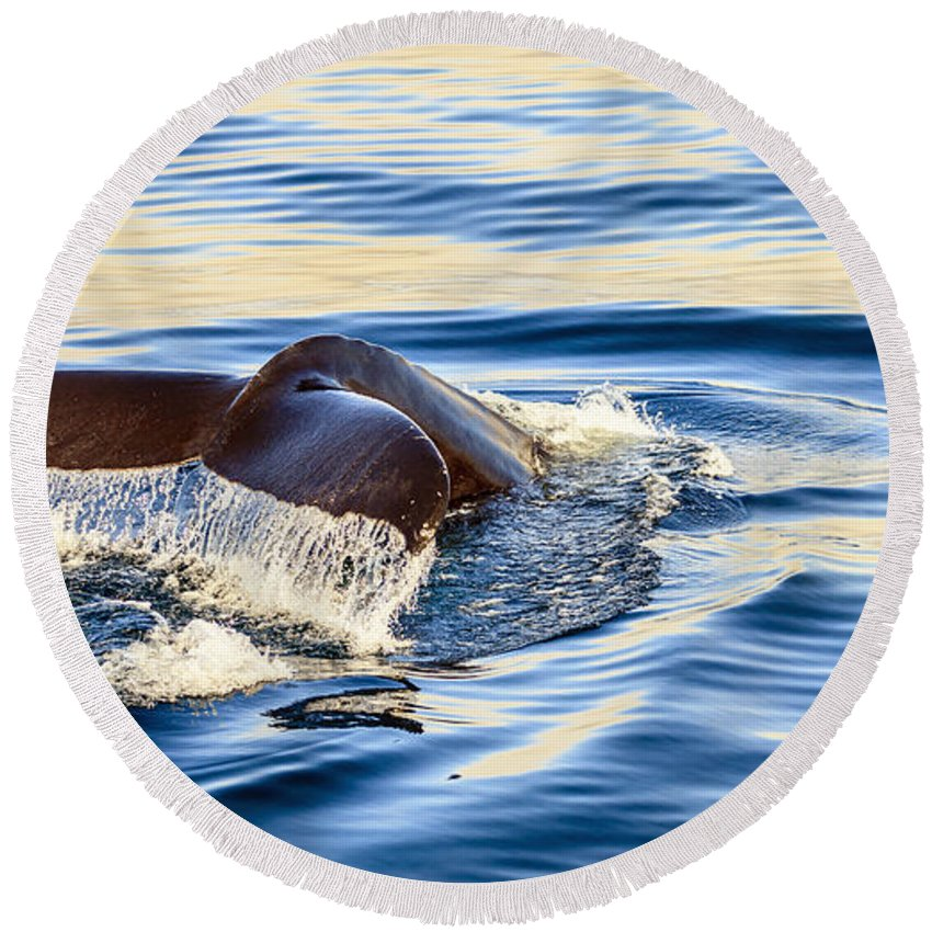 Europe Round Beach Towel featuring the photograph Humpback Whale by Alexey Stiop
