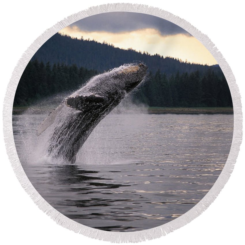 Animal Round Beach Towel featuring the photograph Humpback Whale Breaching by Ron Sanford