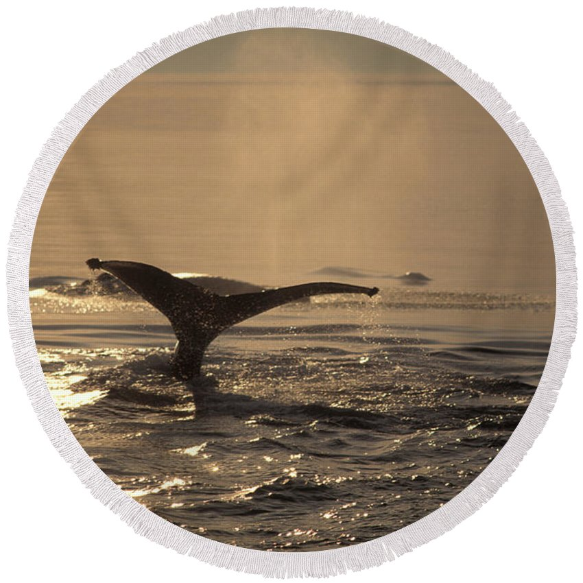 Animal Round Beach Towel featuring the photograph Humpback Whale Feeding by Ron Sanford