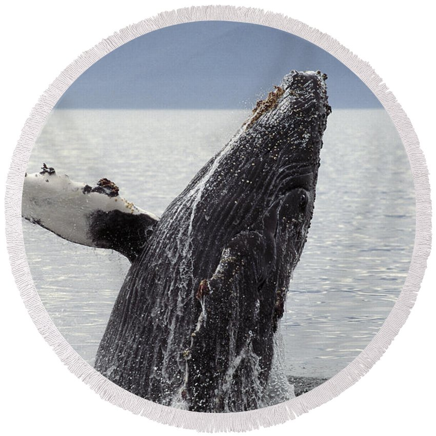 Alaska Round Beach Towel featuring the photograph Humpback Whale by Ron Sanford