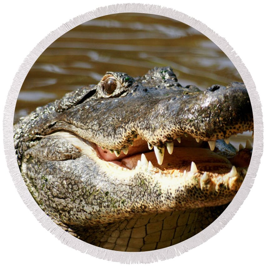 Alligator Round Beach Towel featuring the photograph Hungry Alligator by Larry Allan