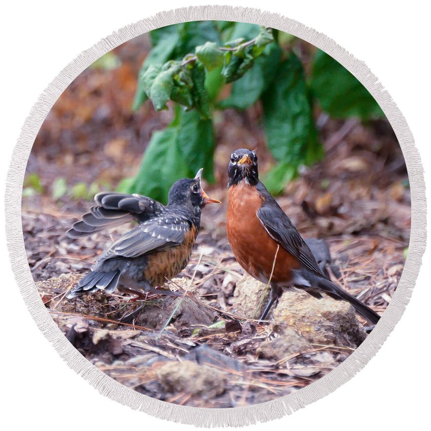American Robin Round Beach Towel featuring the photograph Hungry Baby Robin by Kerri Farley