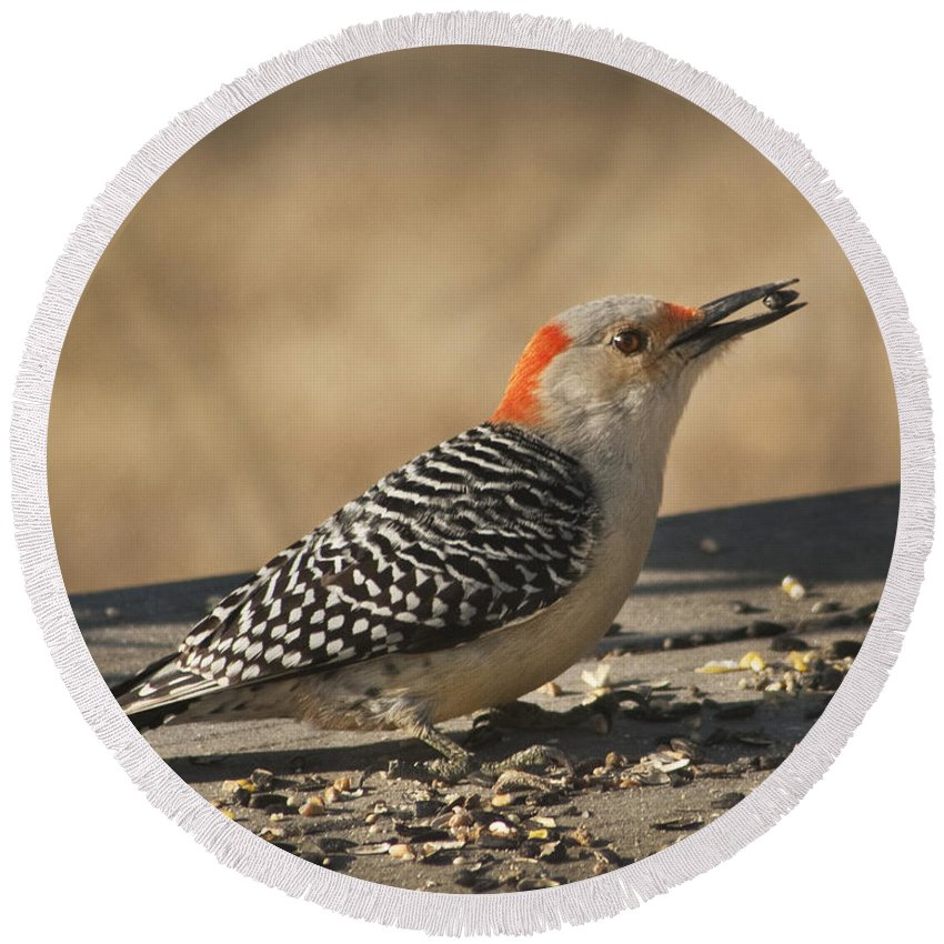 Melanerpes Carolinus Round Beach Towel featuring the photograph Hungry Red-bellied Woodpecker - Melanerpes Carolinus by Kathy Clark