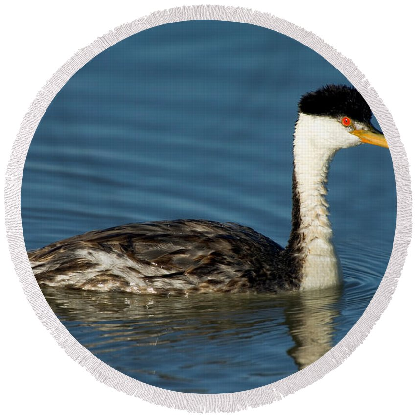 Fauna Round Beach Towel featuring the photograph Hybrid Grebe Western X Clarks by Anthony Mercieca