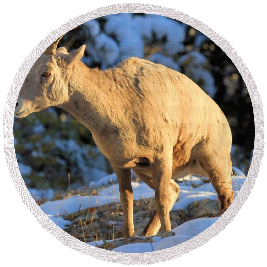Big Horn Sheep Round Beach Towel featuring the photograph I Had To Go by Adam Jewell