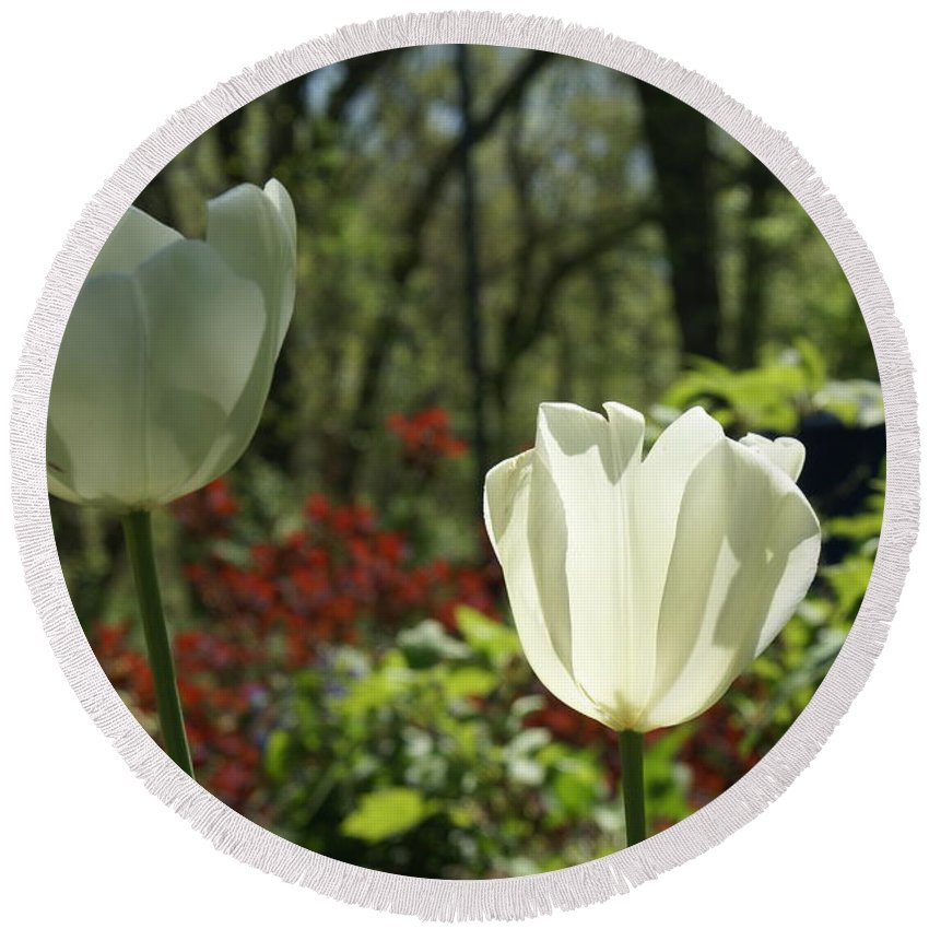 Sun Round Beach Towel featuring the photograph Illuminated White Satin Tulip by Rob Luzier