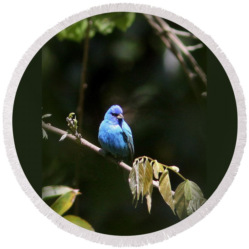 Indigo Bunting Round Beach Towel featuring the photograph Indigo Bunting - Img-428-003 by Travis Truelove