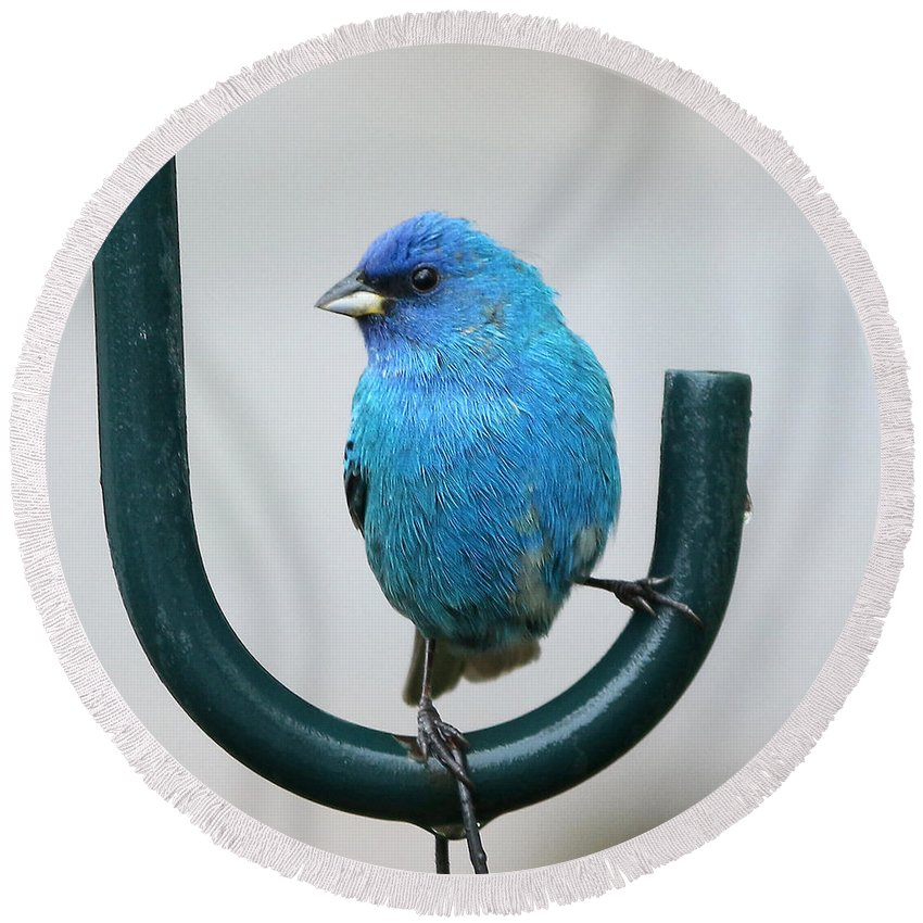 Indigo Bunting Round Beach Towel featuring the photograph Indigo Bunting by Lori Tordsen