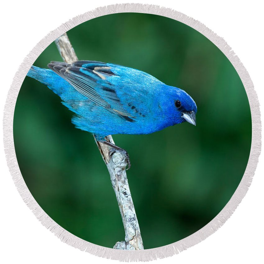 Fauna Round Beach Towel featuring the photograph Indigo Bunting Passerina Cyanea by Anthony Mercieca