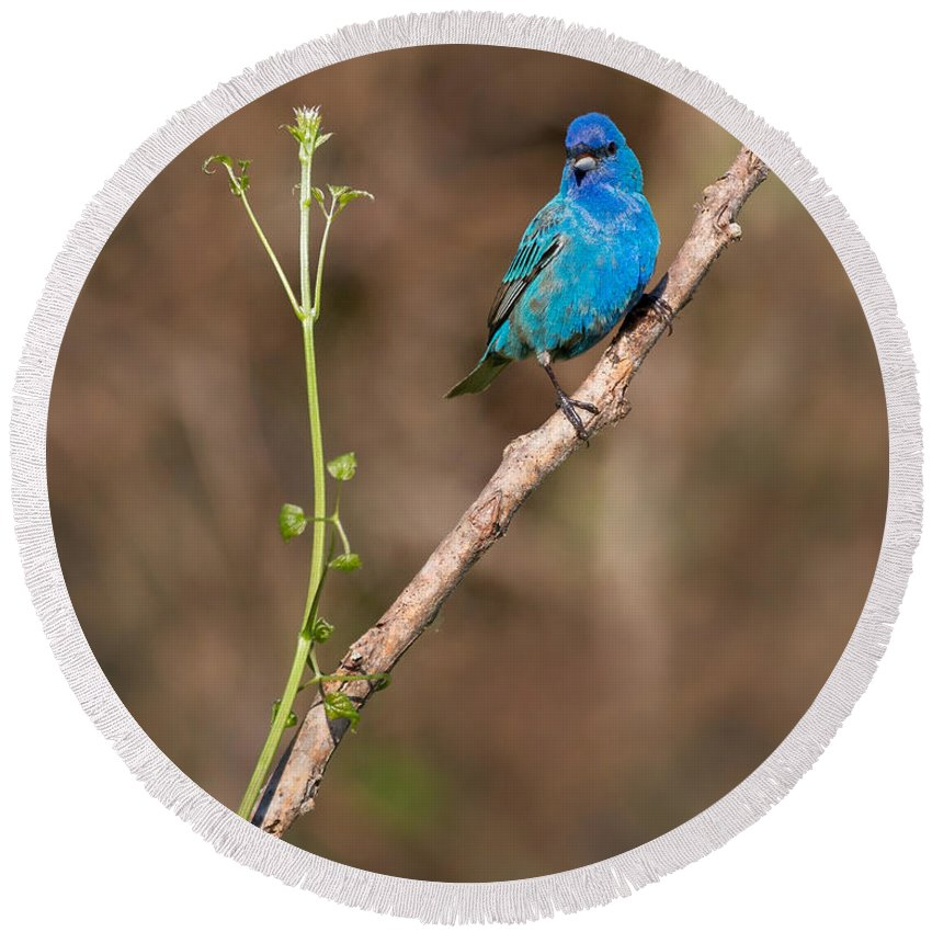 Indigo Bunting Round Beach Towel featuring the photograph Indigo Bunting Portrait by Bill Wakeley