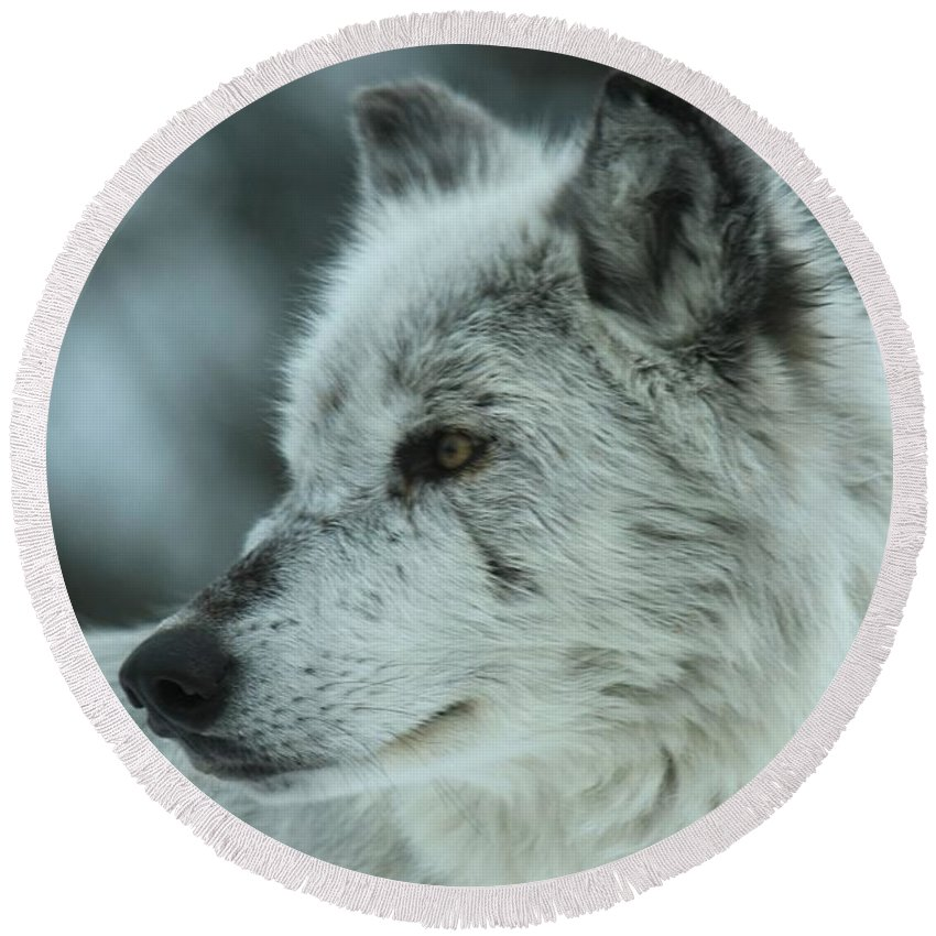 Gray Wolf Round Beach Towel featuring the photograph Intensity by Adam Jewell