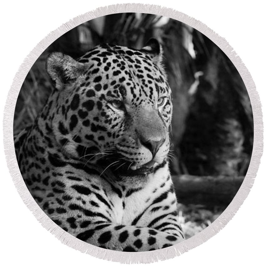 Big Cat Round Beach Towel featuring the photograph Jaguar Mono by Mickey At Rawshutterbug