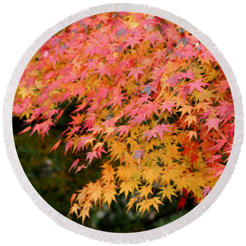 Japanese Maple Round Beach Towel featuring the photograph Japanese Maple by Living Color Photography Lorraine Lynch