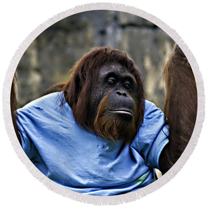 Chimpanzee Round Beach Towel featuring the photograph Just Hanging Around by Ken Frischkorn