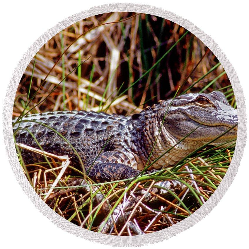 Alligator Round Beach Towel featuring the photograph Juvenile American Alligator by Millard H. Sharp
