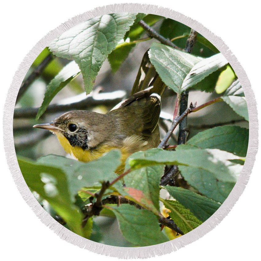 Common Yellowthroat Round Beach Towel featuring the photograph Juvenile Common Yellowthroat by Cheryl Baxter