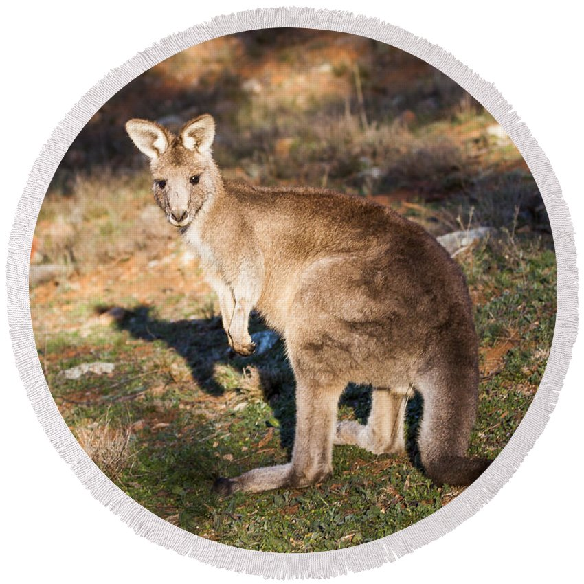 Australia Round Beach Towel featuring the photograph Kangaroo - Canberra - Australia by Steven Ralser
